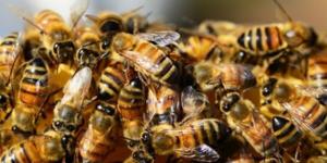 Лечение пчелиным подморов
