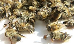 Рецепт подмора пчелиного