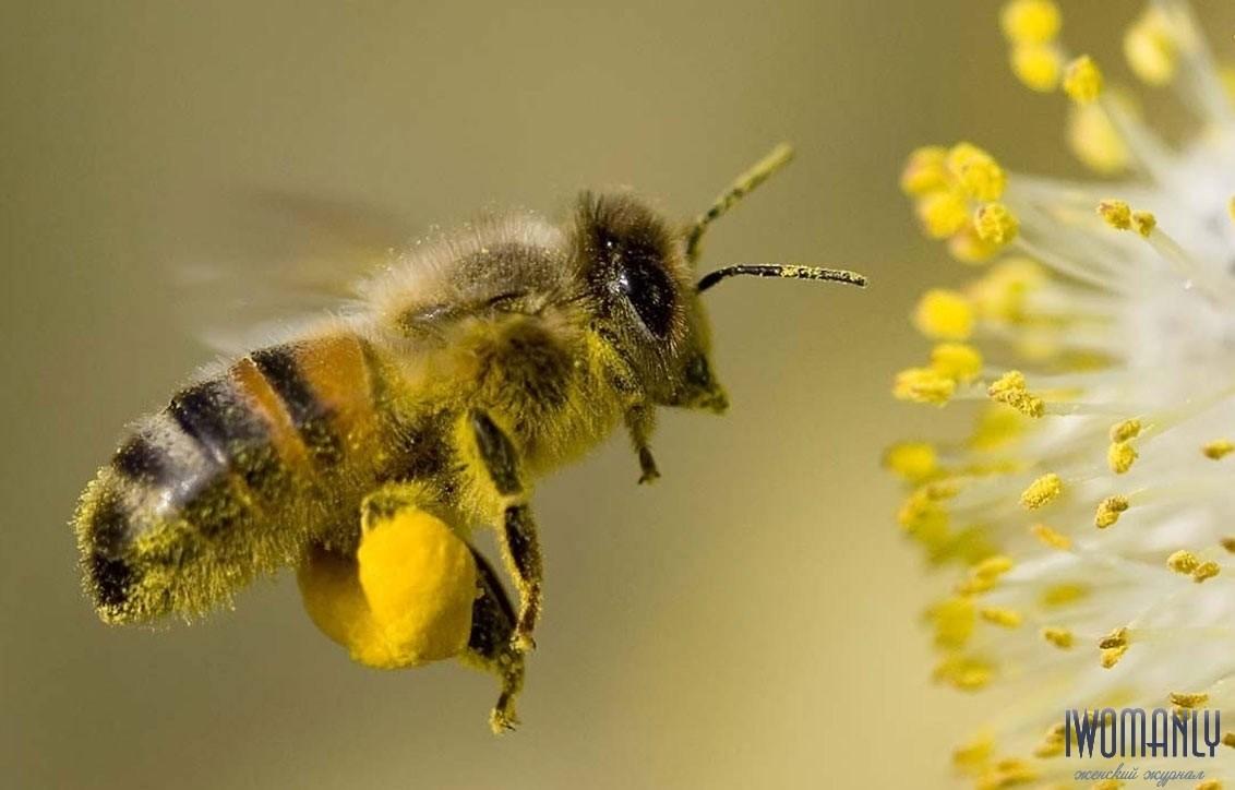 Пыльца пчелиная: польза и вред, применение, как принимать пчелиную пыльцу